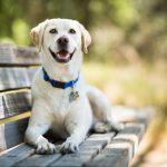 Populiariausias šeimos šuo – labradoras